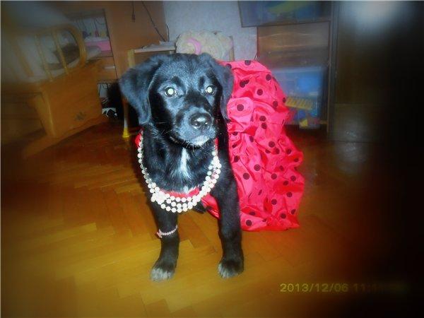щенок черного лабрадора