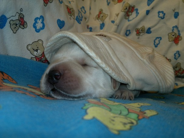 Лабрадор ретривера щенок. Конкурс Лаброклуба