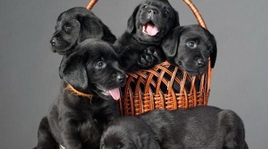 Продажа щенков лабрадора. Правильно выбираем щенка