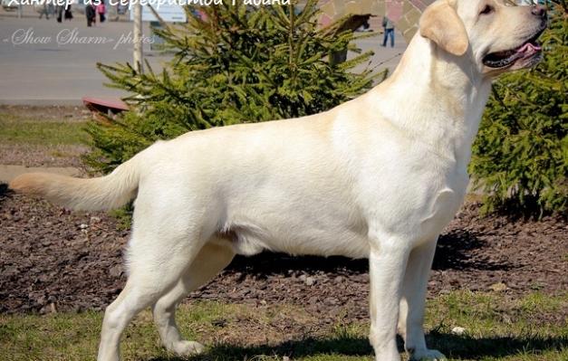 Щенки лабрадор ретривера щенки голден